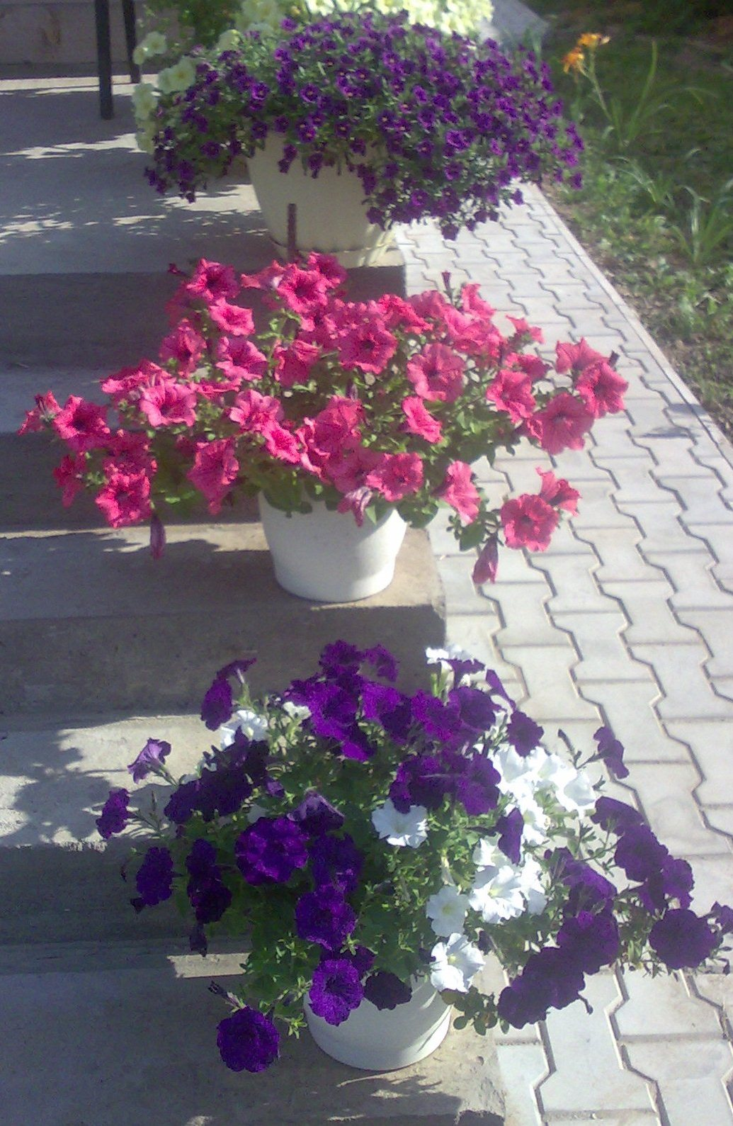 Каталог ампельных цветов фото